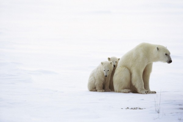 Osa polar junto a sus dos cachorros