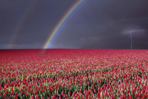 Arcoíris y rayos sobre un gran campo de tulipanes