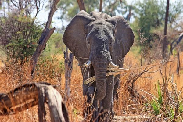 Elefante en la sabana africana