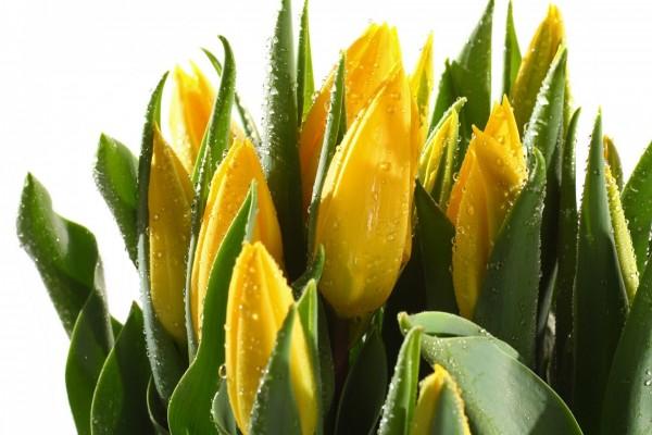 Hermosos capullos de tulipanes amarillos
