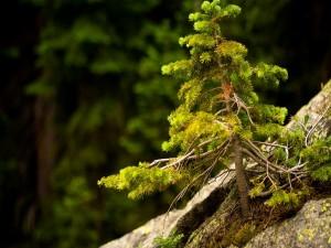 Postal: Abeto sobre una roca