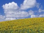 Un hermoso campo de girasoles
