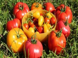 Tomates rojos y amarillos