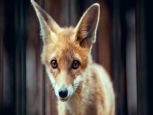 Postal: La mirada de un pequeño zorro