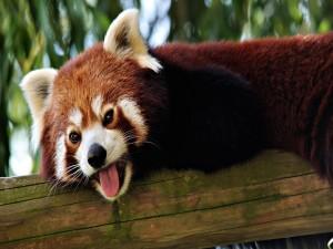 Panda rojo sacando la lengua
