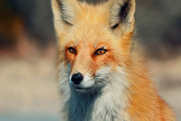 Un zorro visto de cerca