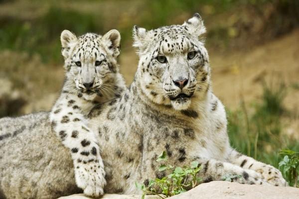 Pequeño leopardo de las nieves junto a su madre