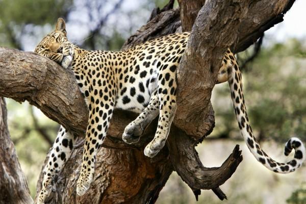 Leopardo dormido entre dos gruesas ramas