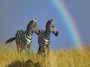 Postal: Dos cebras junto a un arcoíris