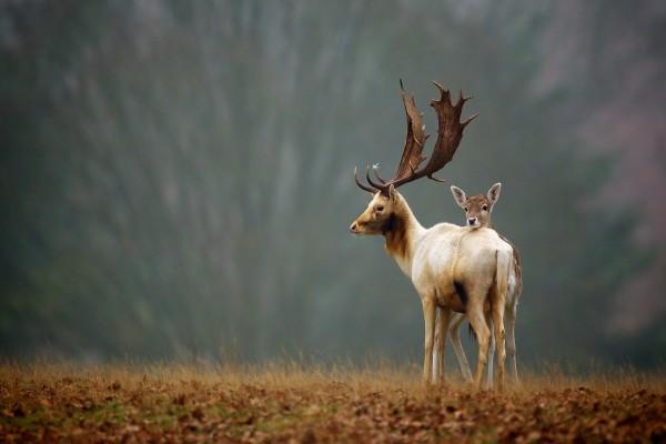 Joven ciervo junto a uno adulto