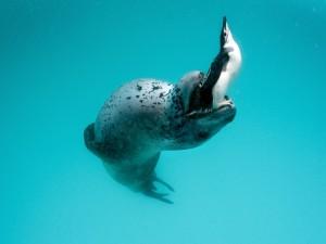 Foca con un pingüino en la boca