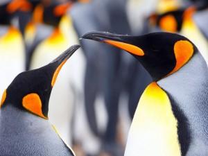 El colorido pingüino rey en las islas Falkland