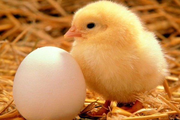 Un huevo y un pollito