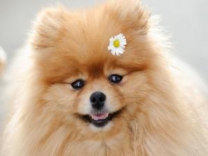 Un adorable pomeranian con una flor
