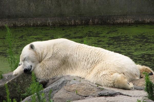 Oso polar durmiendo sobre unas rocas