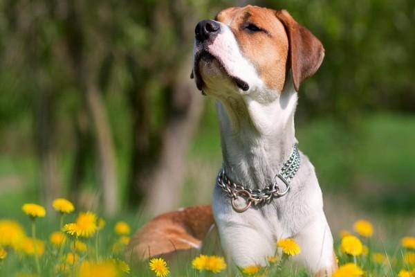 Un perro escuchando atentamente