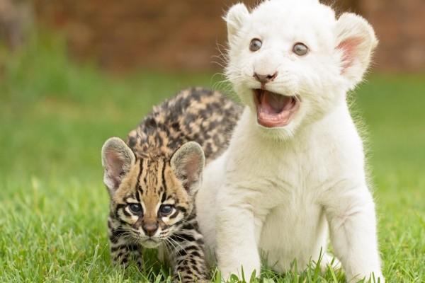 Pequeño león blanco junto a un ocelote