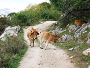 Postal: Vaca tras su ternero en un camino de los Picos de Europa (Asturias)