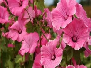 Hibiscos rosados cubiertos de agua