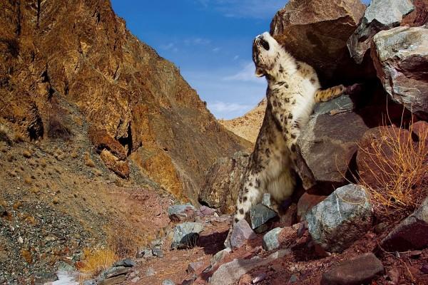 Leopardo de las nieves entre unas rocas