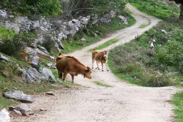 Vacas asturianas en un camino
