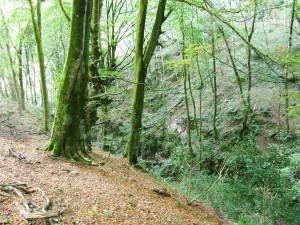 Postal: Hayedo de la Biescona en otoño (Asturias)