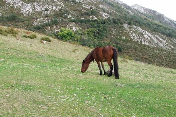 Un caballo marrón pastando en las montañas del Sueve (Asturias)