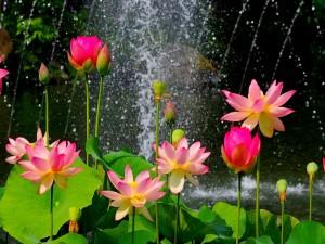 Postal: Flores de loto junto a una cascada
