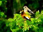 Dos pájaros sobre las ramas de un pino