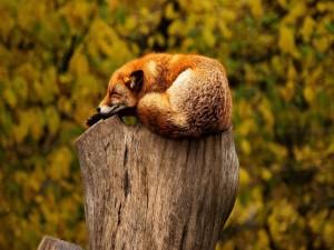 Un zorro dormido sobre el tronco de un árbol