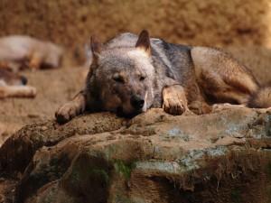 Un lobo durmiendo sobre unas rocas