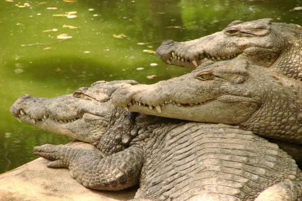 Tres cocodrilos junto al agua