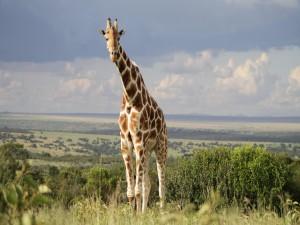 Una gran jirafa