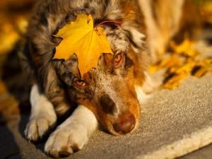 Hoja otoñal sobre la cabeza de un perro