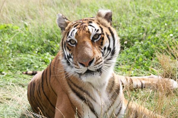 Un hermoso tigre descansando