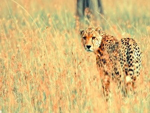 Postal: Un guepardo cauteloso