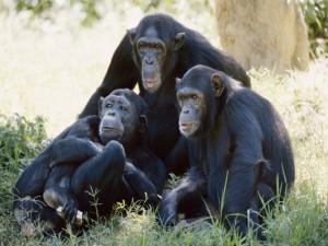 Chimpancés posando para la foto