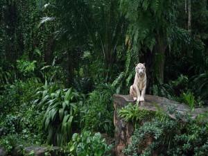 Tigre blanco sentado en una roca