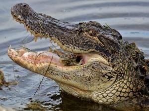 Postal: Cangrejo en la boca de un cocodrilo
