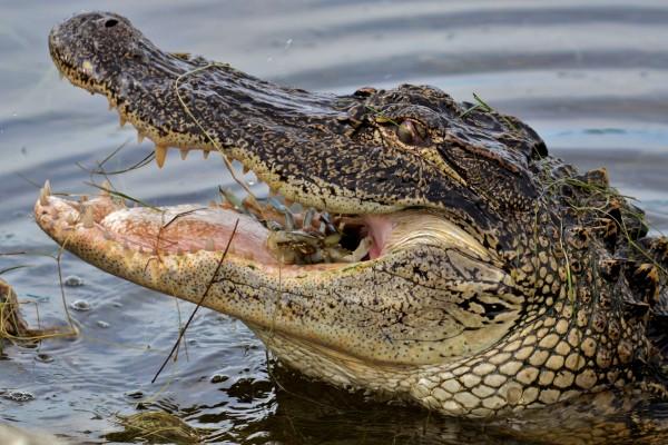 Cangrejo en la boca de un cocodrilo