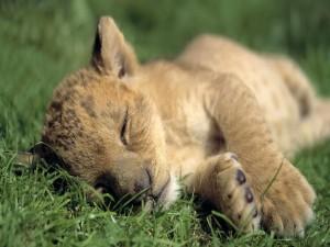 Postal: Cachorro de león dormido sobre la hierba
