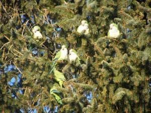 Cotorras en un árbol