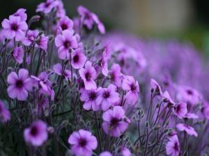 Pequeñas flores silvestres de color violeta