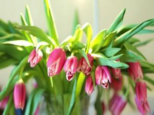 Hermosos tulipanes recibiendo agua