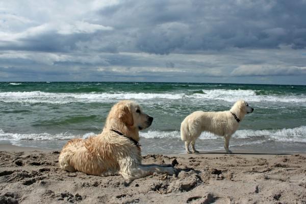Perros blancos en una playa