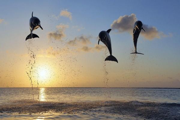 Delfines saltando en las aguas del mar