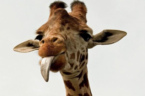 Jirafa sacando la lengua
