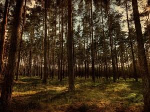 Postal: Bosque de coníferas