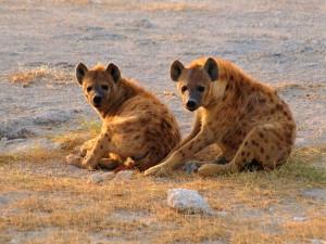 Postal: Dos hienas sentadas