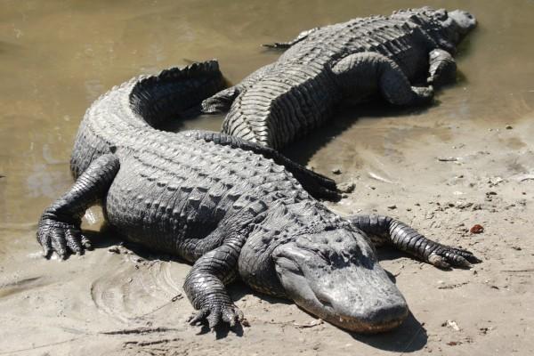 Dos cocodrilos junto al agua